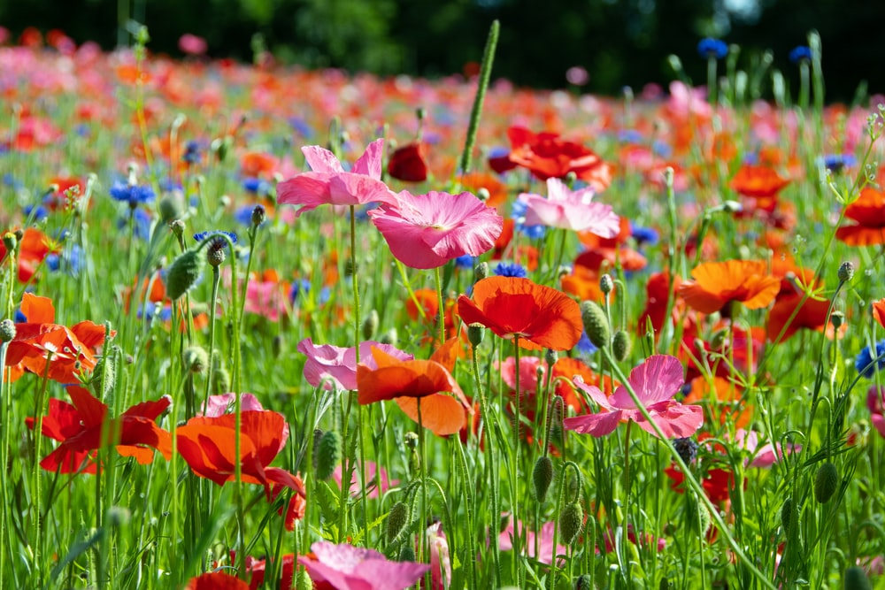 bed of red and pink poppies