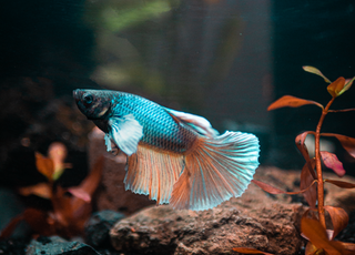 pink and white betta fish inside aquarium
