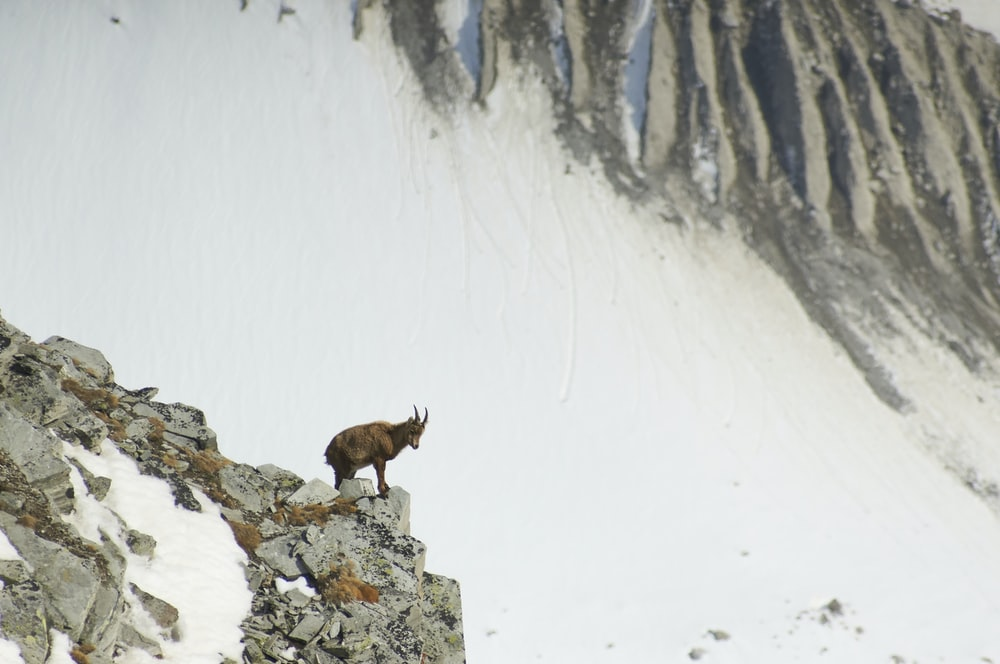 brown goat on rock cliff