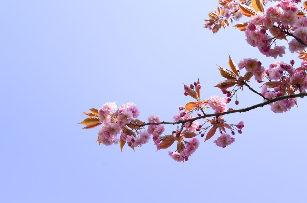 blooming pink cherry blossoms