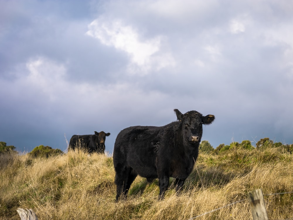 two black cattle outdoor during daytime