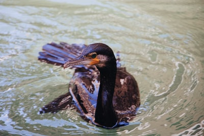 black bird on the water noir zoom background