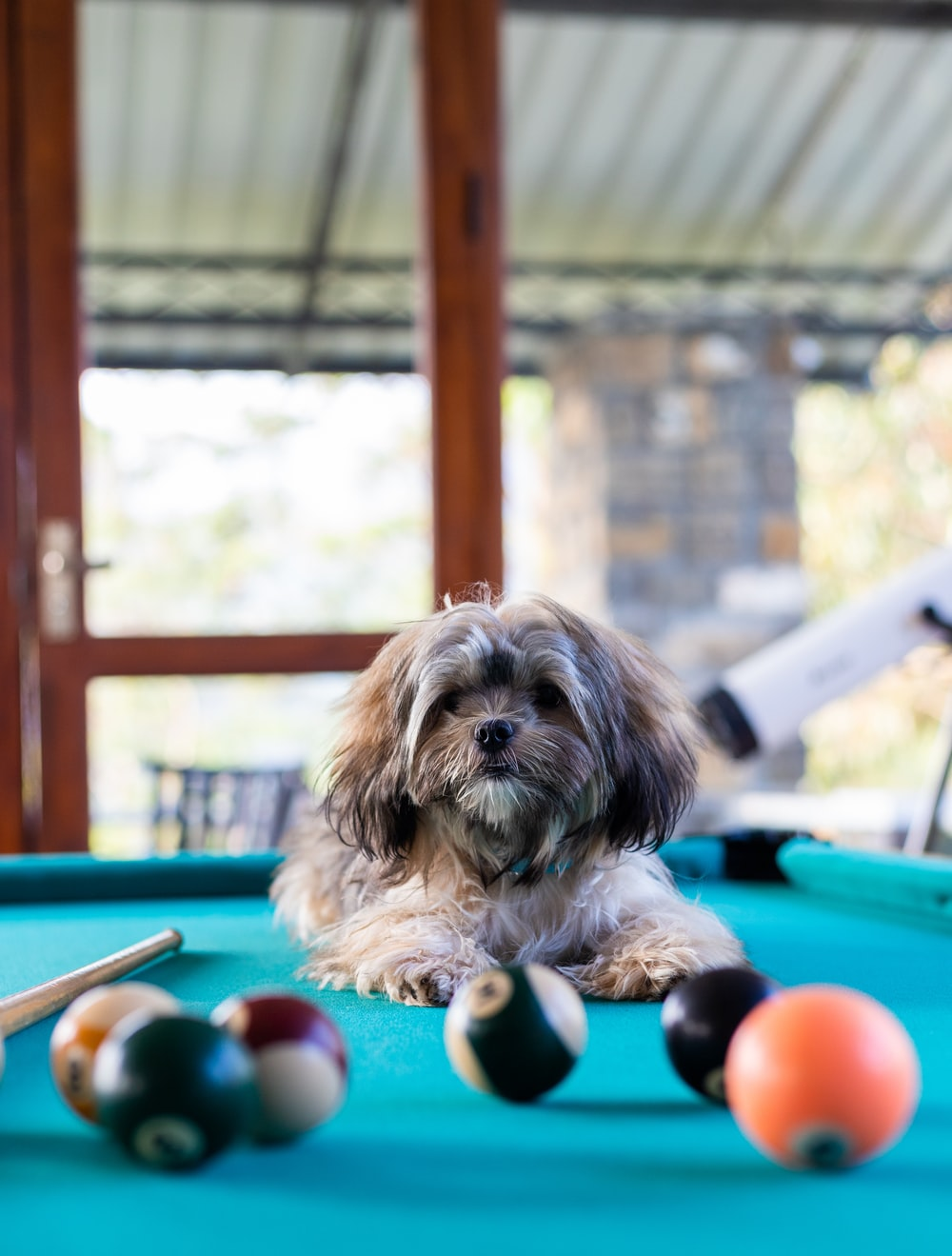 brown dog on pool table