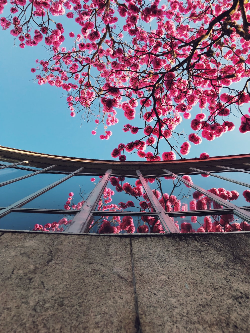 pink blossoms tree
