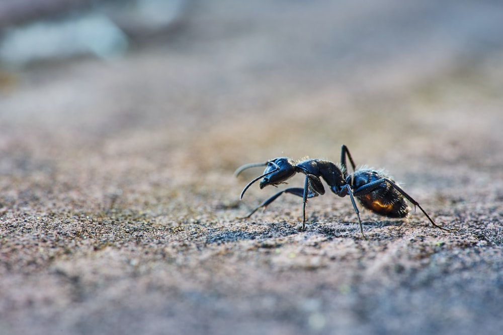black ant close-up photography