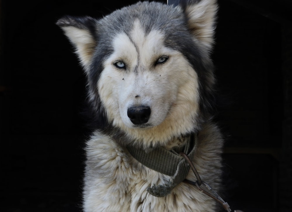 closeup photo of adult gray and white Siberian Husky