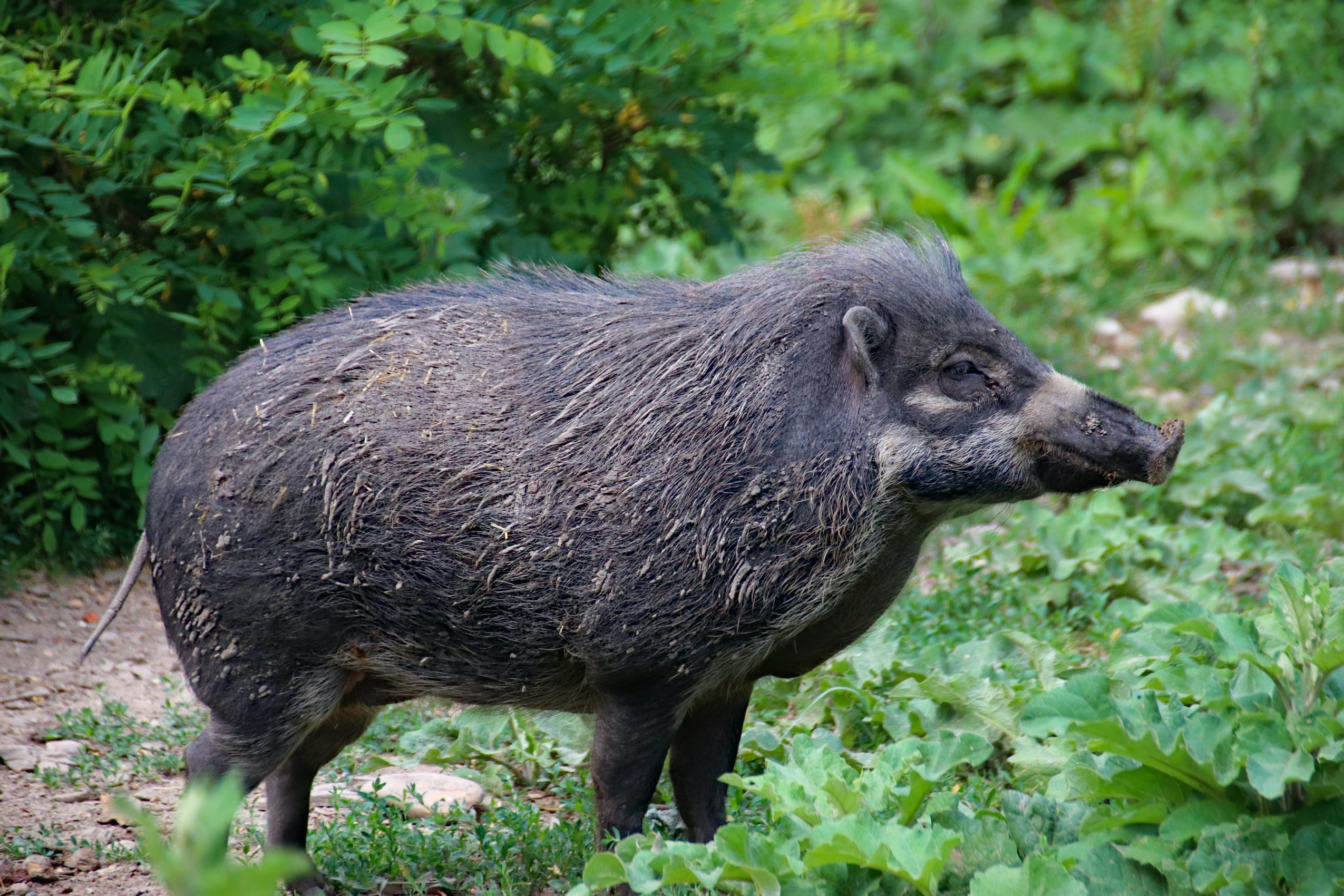 How Feral Hogs Hurt The Environment