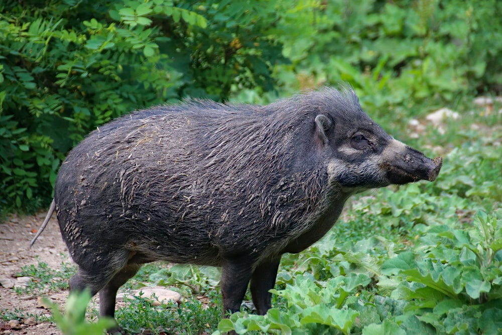 black wildboar