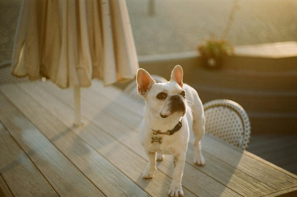 white short coat small dog