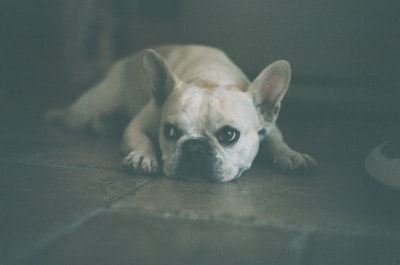 adult white french bulldog lying on floor french provincial zoom background