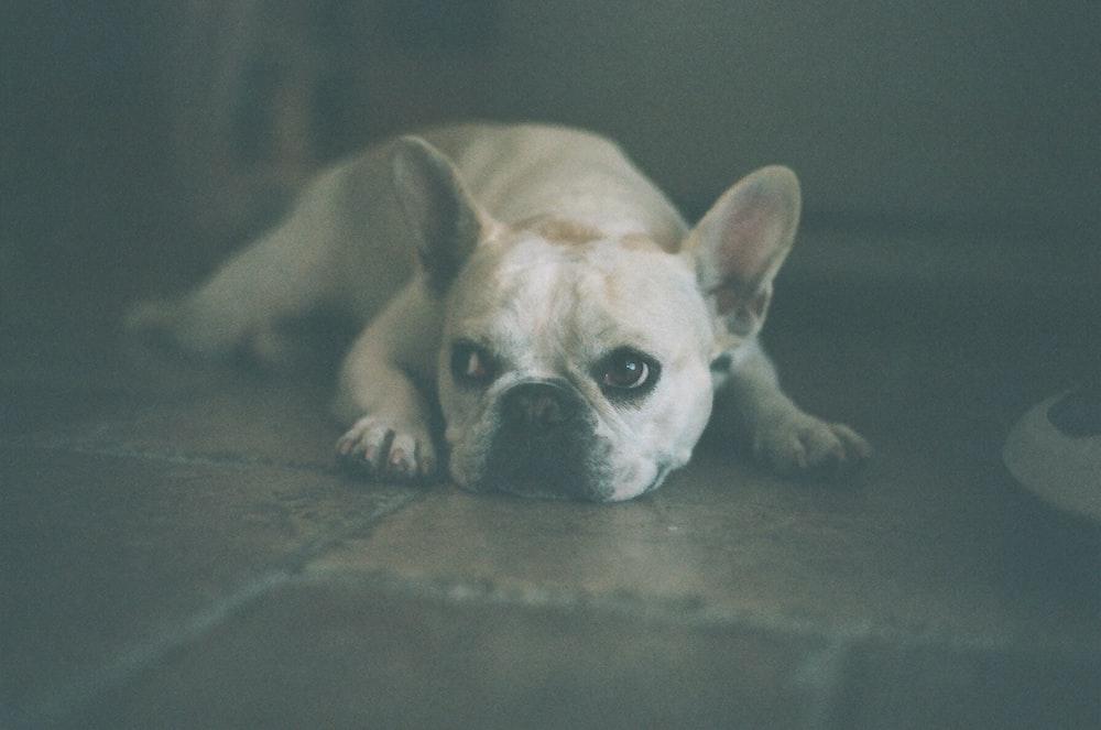 adult white French bulldog lying on floor