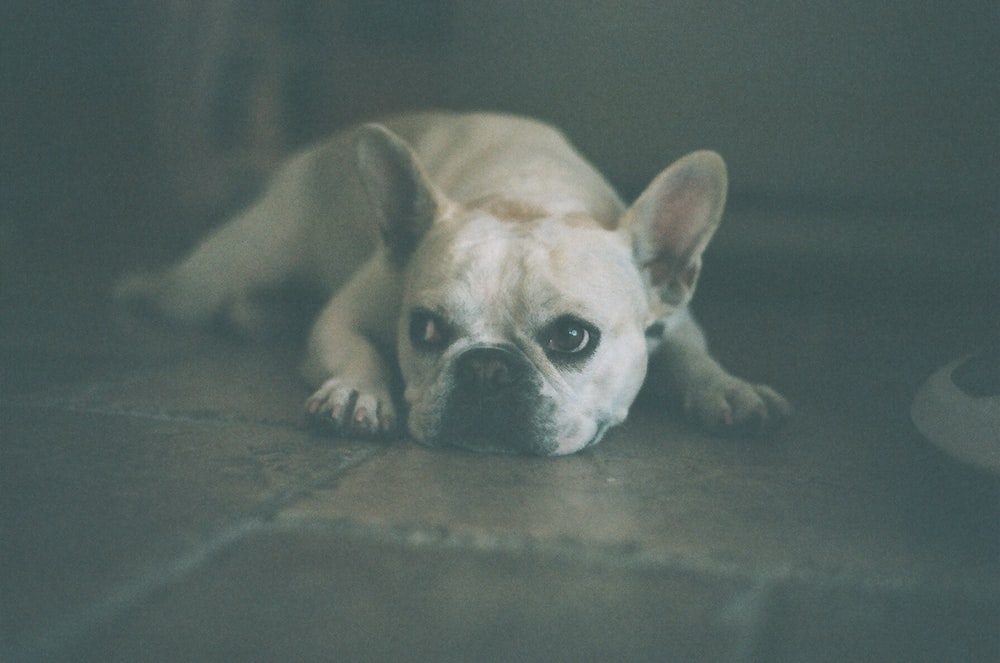 adult white French bulldog lying on floor