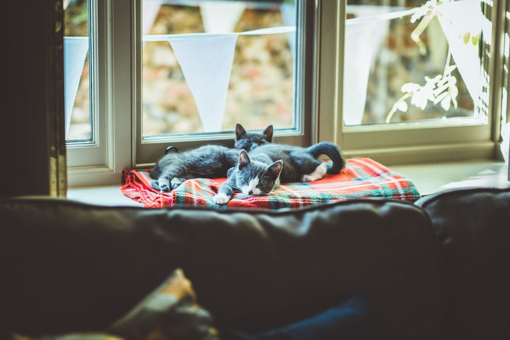 two grey and white kittens on window sill