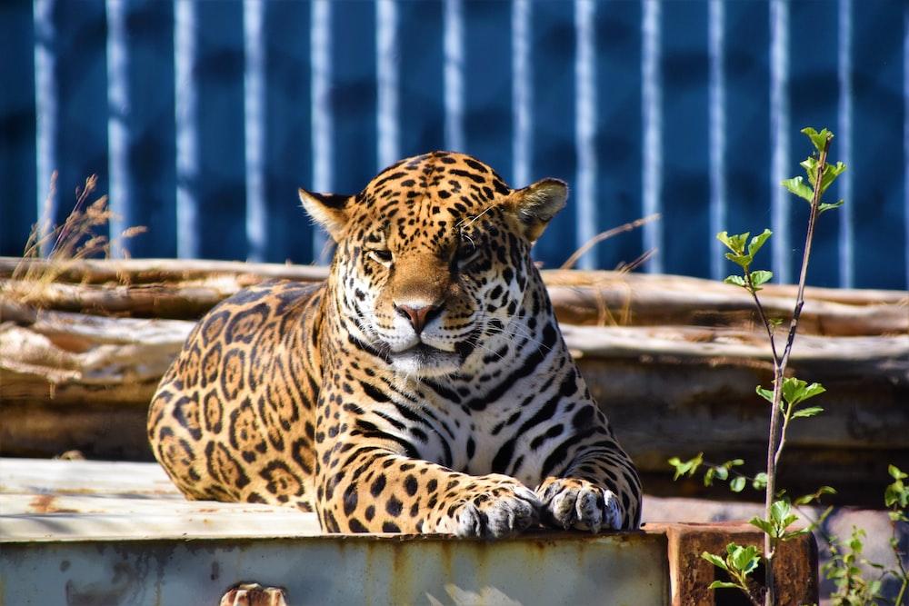 leopard animal lying on deck