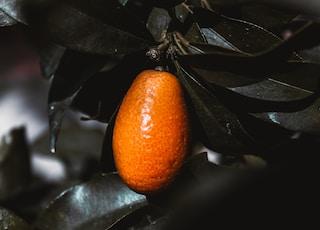 orange kumquat fruit