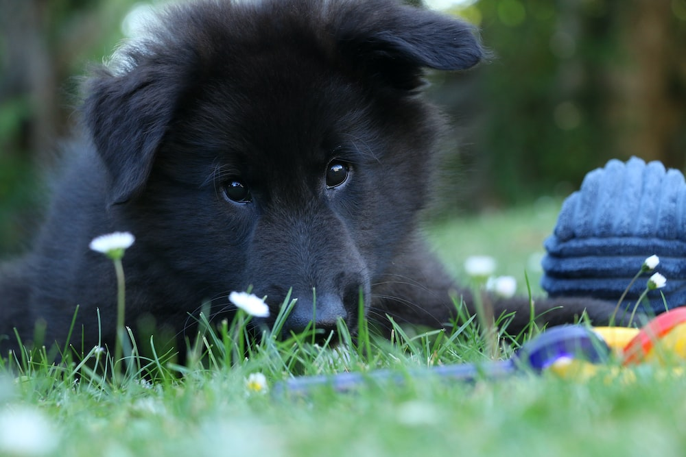 black short coated puppy lying on grass
