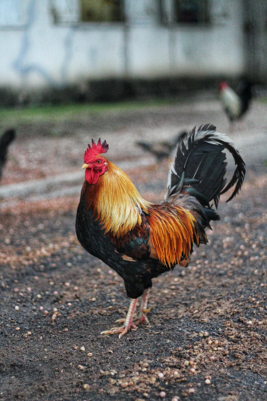 orange and black rooster