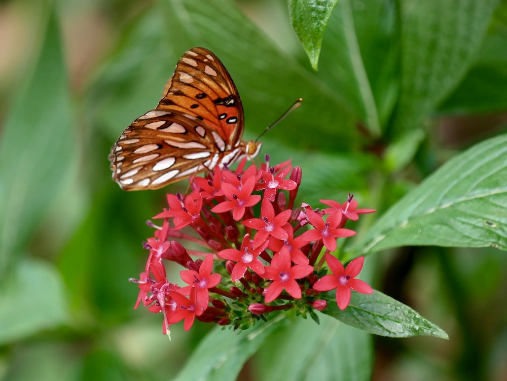brown and white butterfly on red 5-petal flower close-up photography