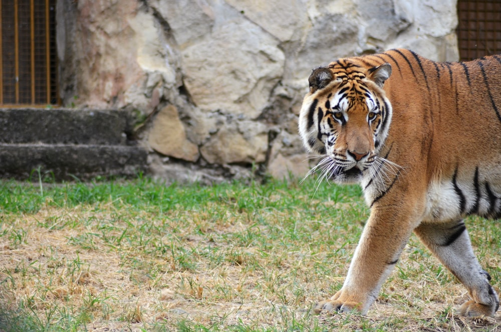 brown and black tiger walking on grass
