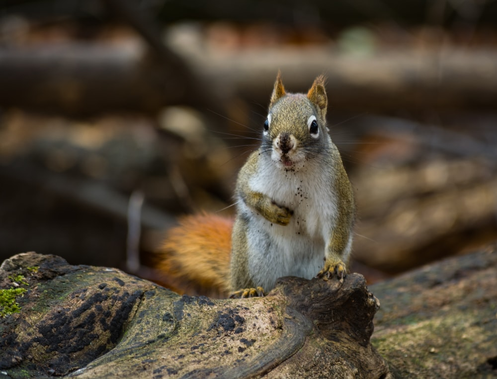 white and brown squirrel close-up photography