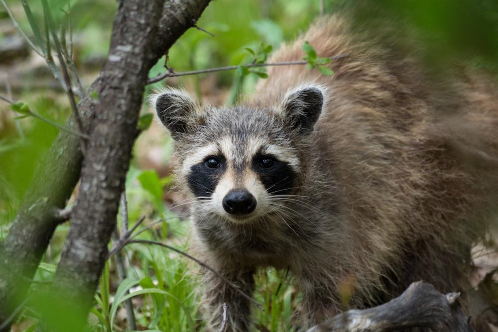 raccoon on ground near branch