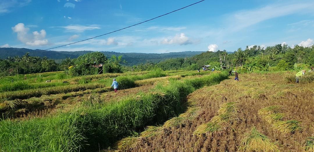Balinese harvesting the rice fields in Canggu