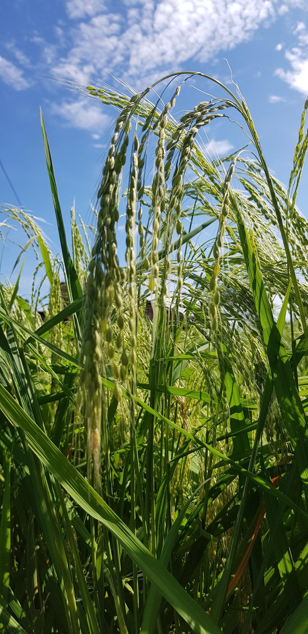 green tall grass