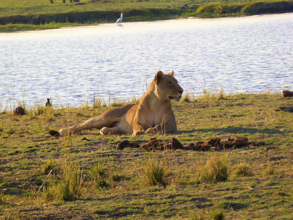 brown lioness near body of water