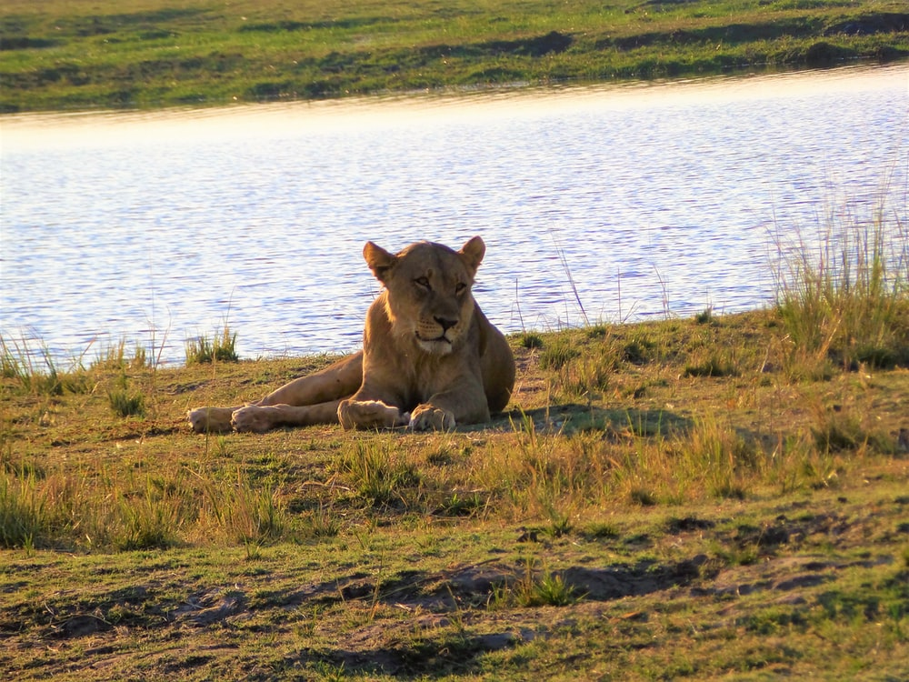 brown lioness lying on ground beside body of water during daytime