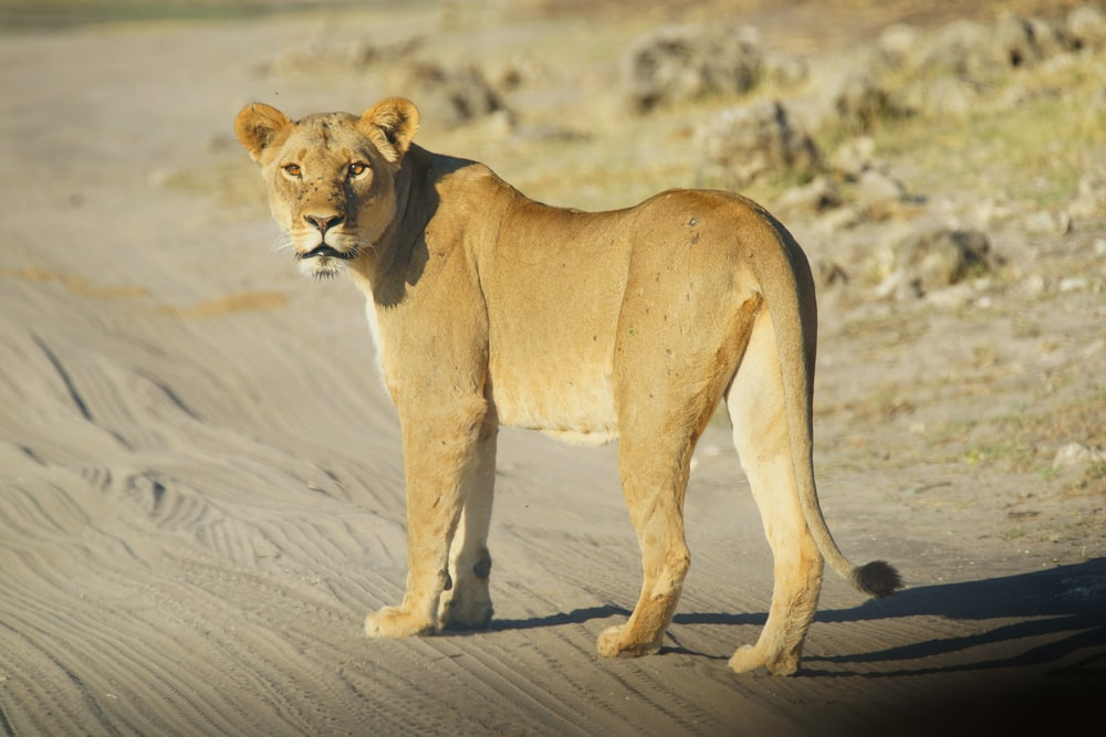 brown lioness in dirt road
