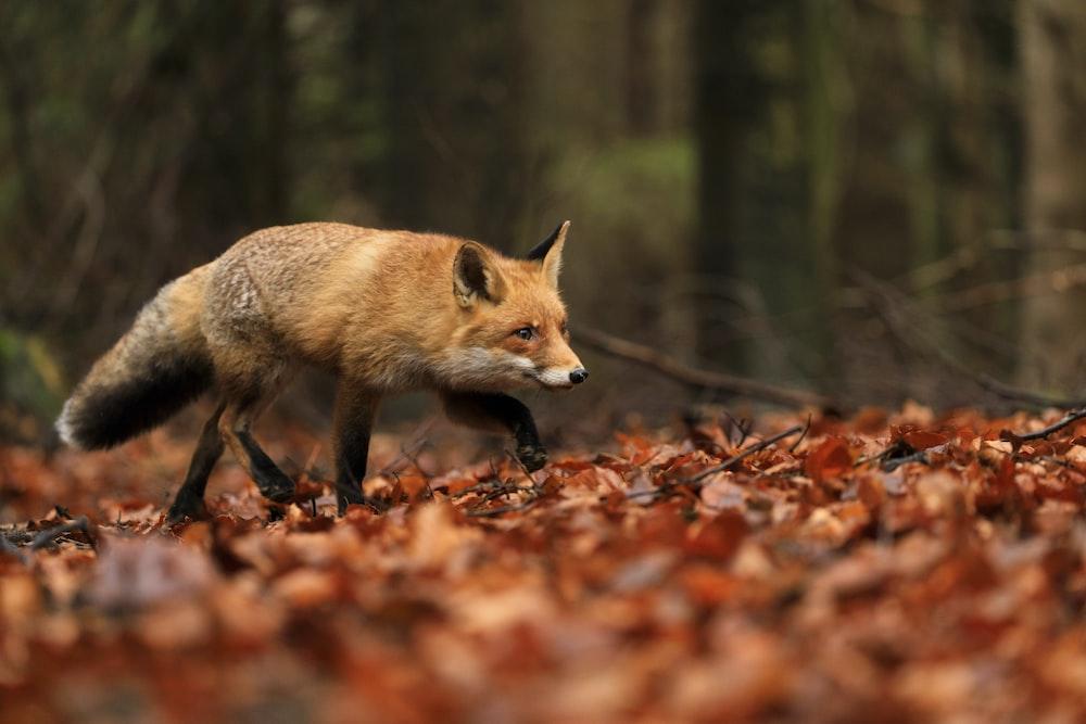 brown fox walking on dried leaves
