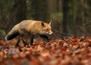 brown fox walking on dried leaves