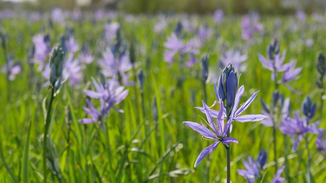 Purple flowers in meadow.