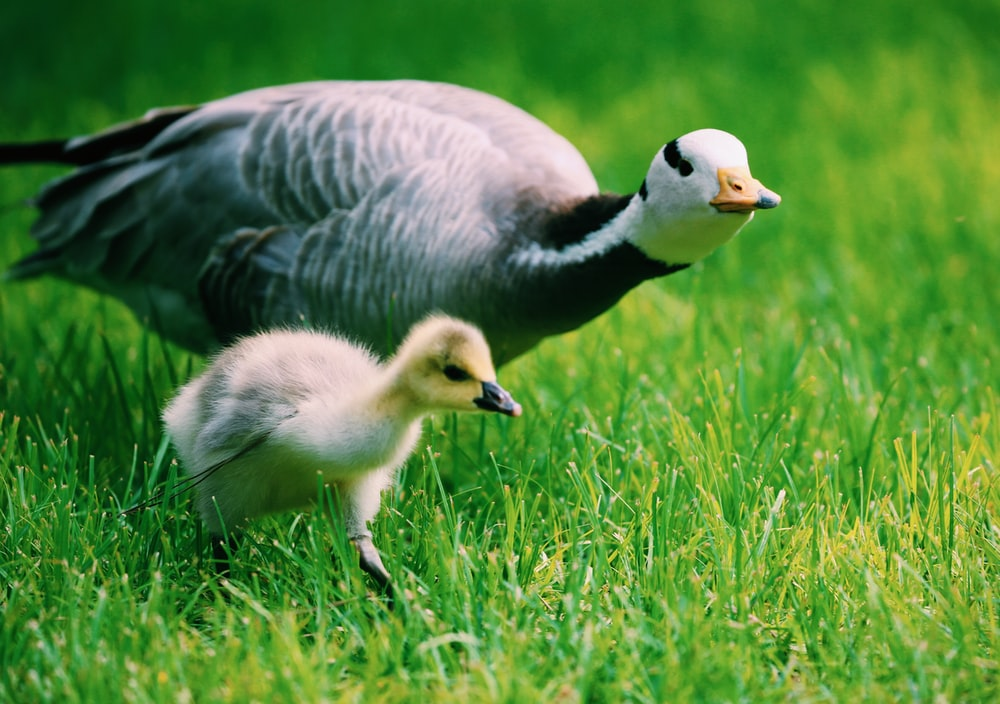 peafowl and chick walking on grass
