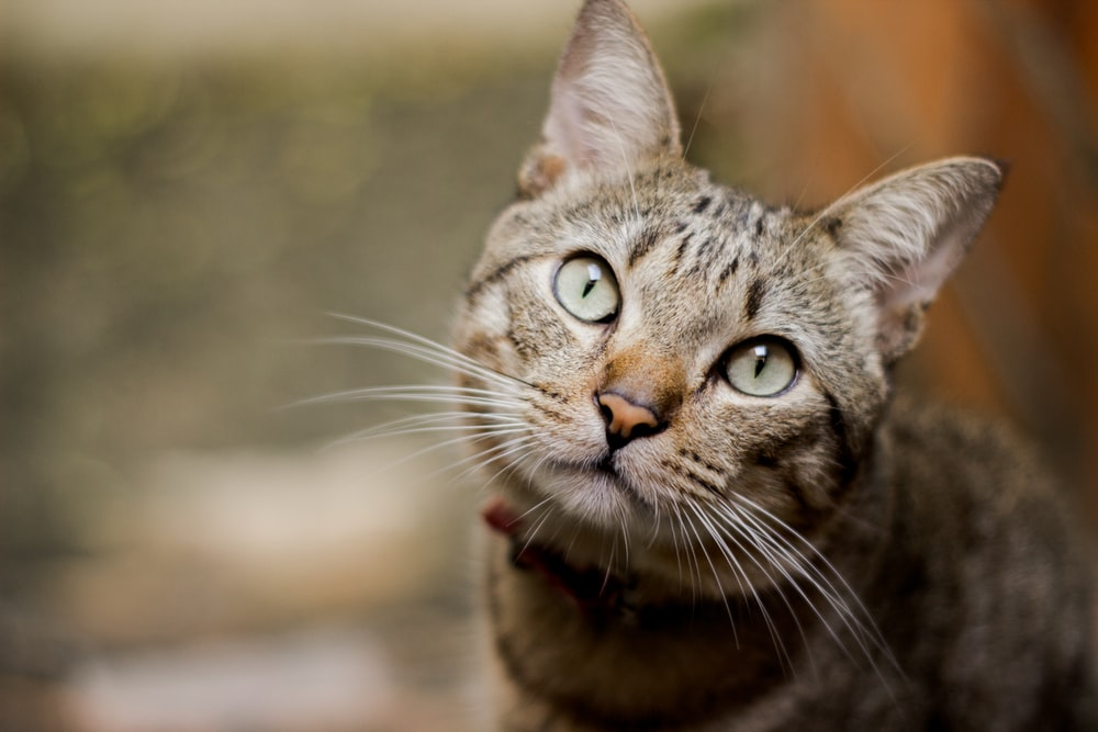 focus photography of brown cat