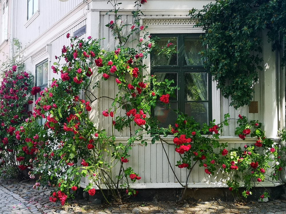 red-petaled flowers with vines