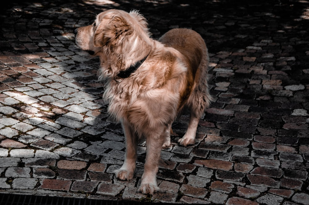adult golden retriever on focus photography