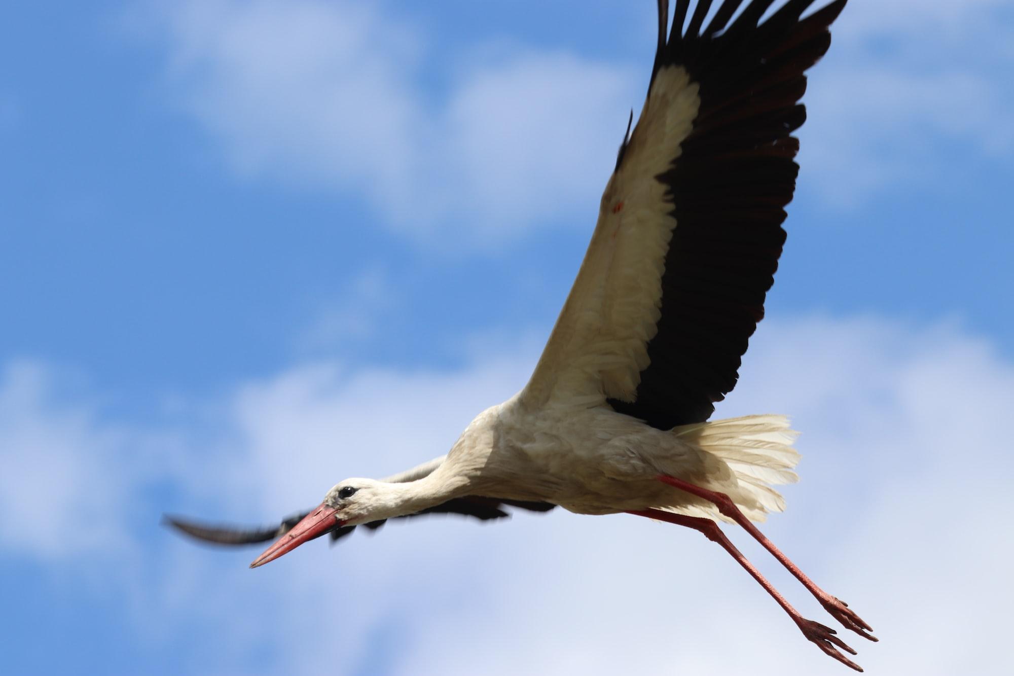 Stork in Poland