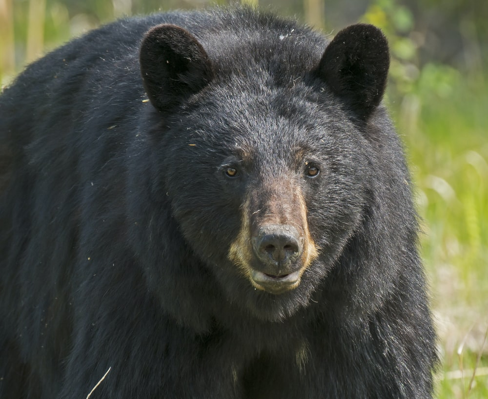 black grizzly bear in close-up photography