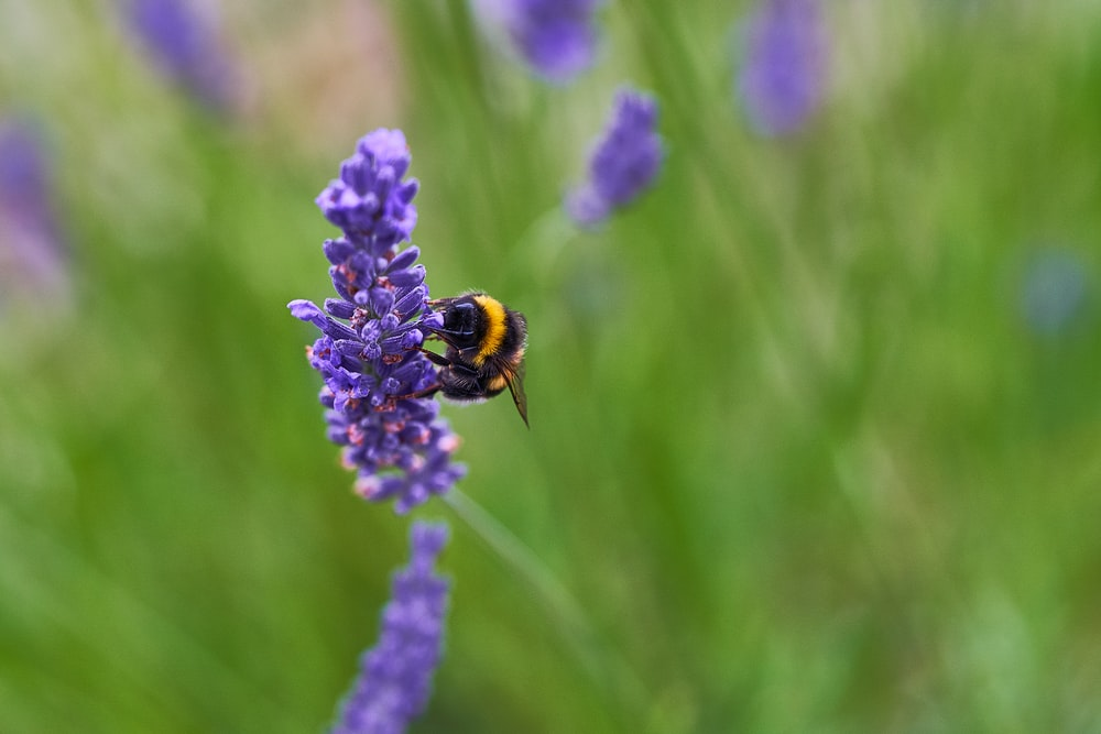 selective focus photo of bee perching on purple flower