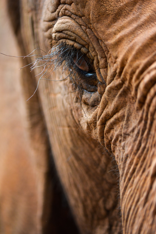 brown elephant