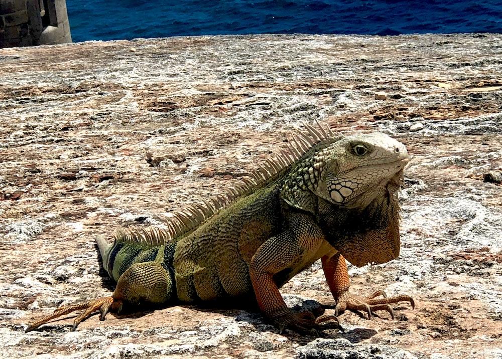 selective-focus photography of iguana