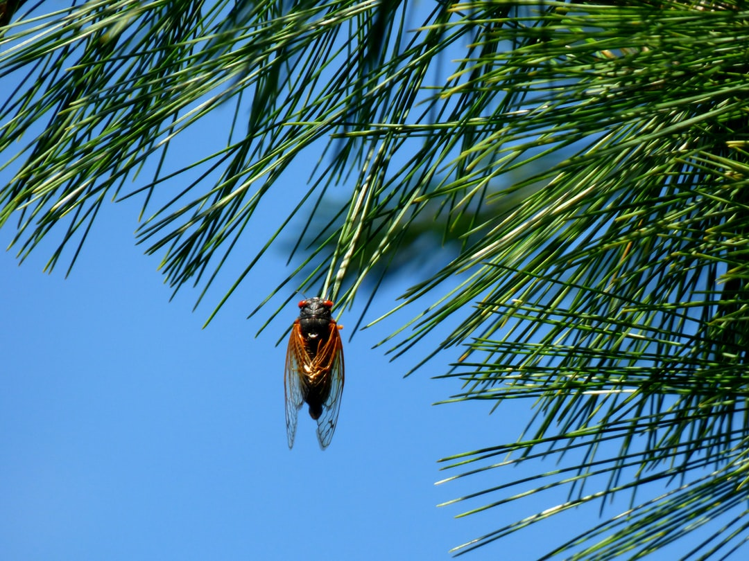 Locust + Pine Needle + Blue Sky