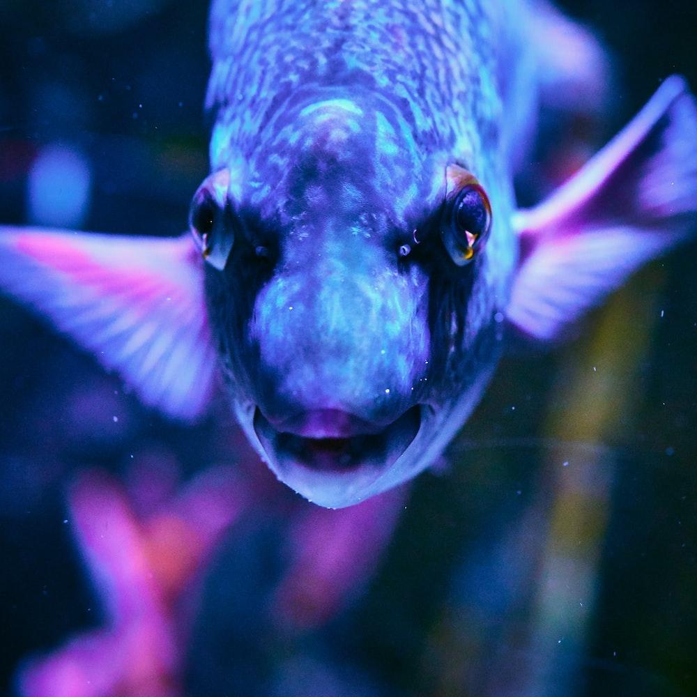 gray pet fish