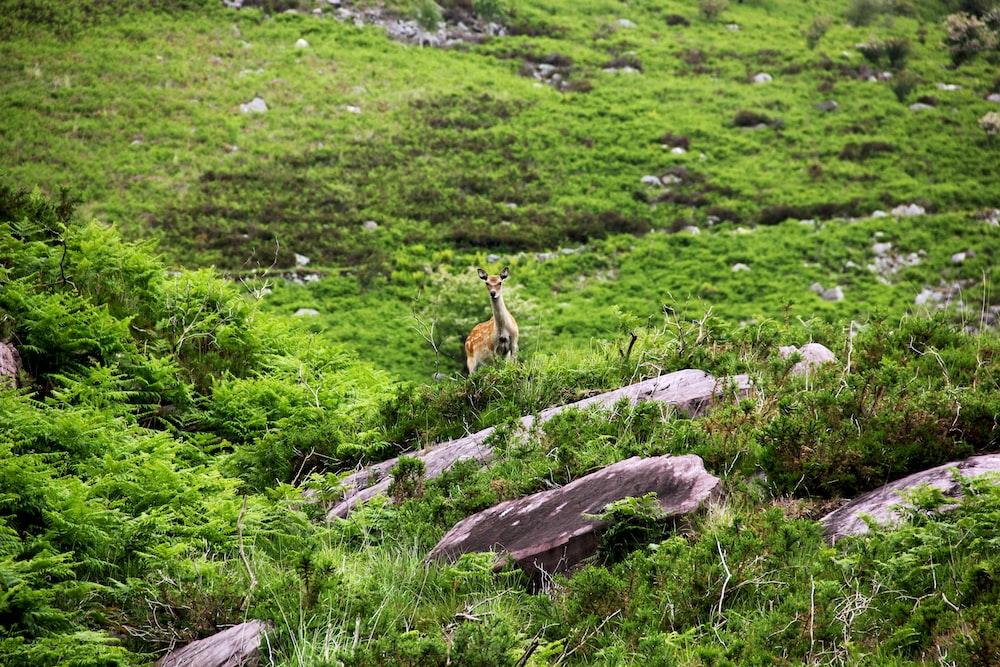 doe deer in green grass