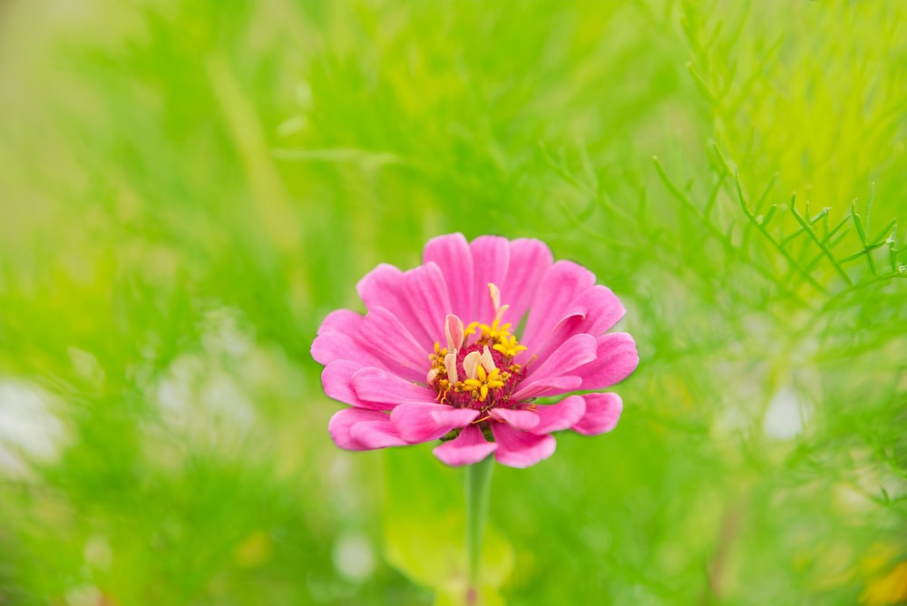 pink daisy in bloom