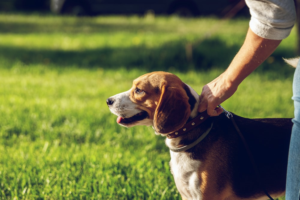 selective focus photography of adult tricolor beagle