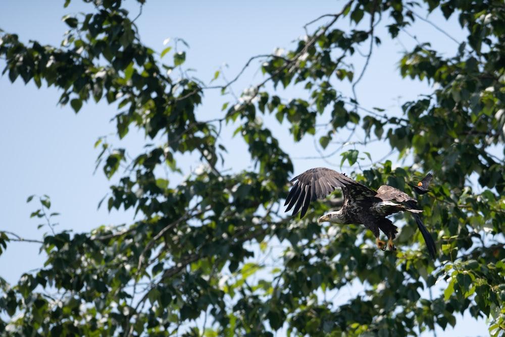 gray eagle flying near green tree
