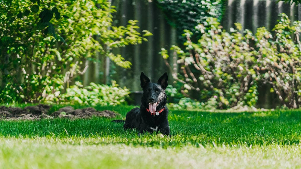 shallow focus photo of short-coated black dog