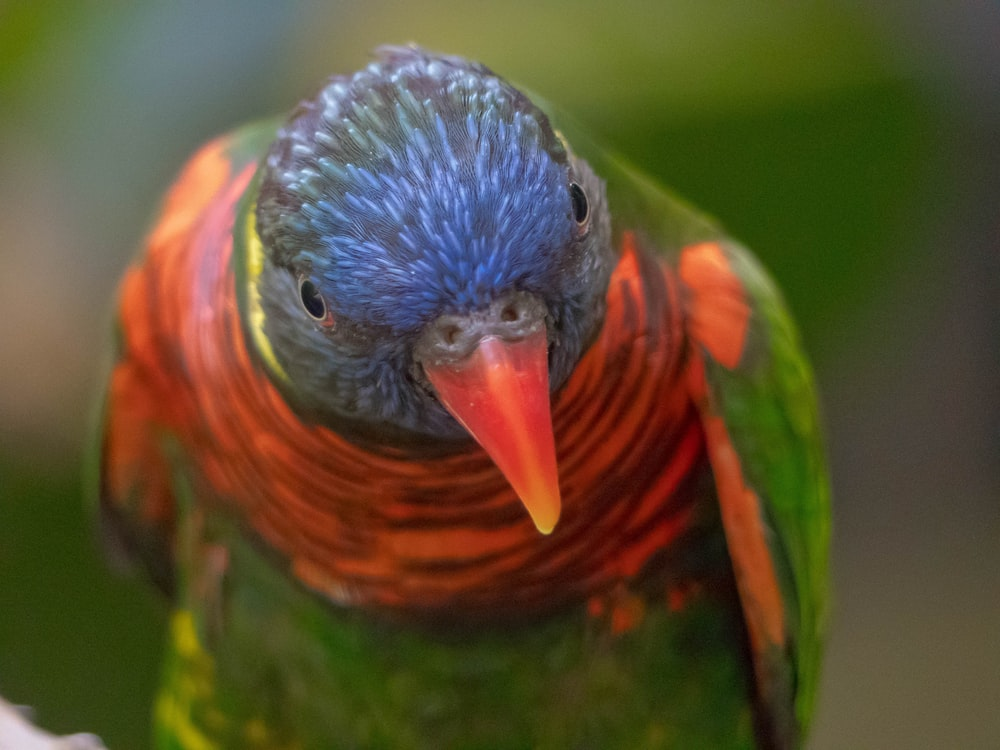 green, red, and blue parrot